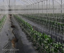 HORTOMALLAS greenhouse-peppers-with-support-net